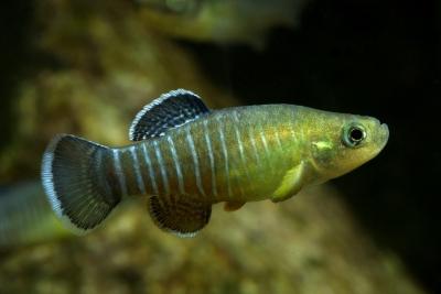 Aphanius farsicus Cyprinodontidae
