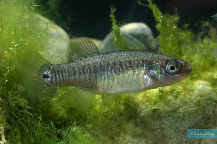Aphanius farsicus