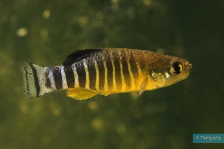 Aphanius anatoliae - killi géant d'Anatolie