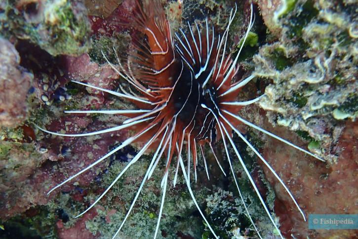 Pterois radiata - poisson-scorpion rayonné