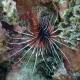 picture of Pterois radiata
