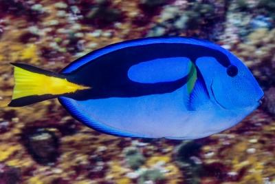 chirurgien bleu (Dory) Acanthuridae