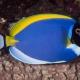 picture of Acanthurus leucosternon