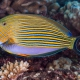 picture of Acanthurus lineatus
