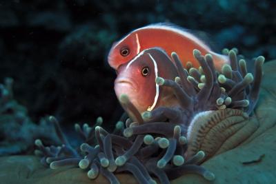 poisson-clown rose Pomacentridae