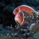 picture of Amphiprion perideraion