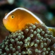 picture of Amphiprion sandaracinos