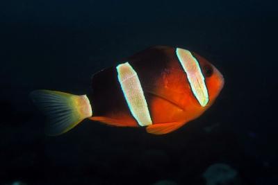 poisson-clown marron Pomacentridae