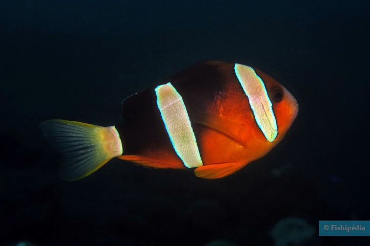 Amphiprion tricinctus - poisson-clown marron