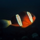 picture of Amphiprion tricinctus
