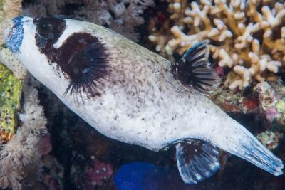poisson ballon masqué Tetraodontidae