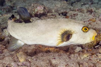 poisson ballon immaculé Tetraodontidae