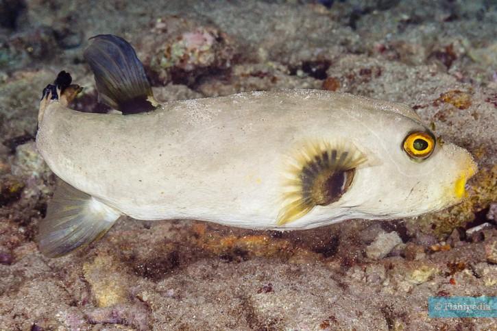 Arothron immaculatus - poisson ballon immaculé