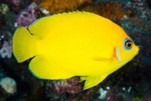 poisson-ange citron
