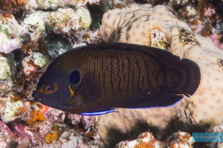 Centropyge multispinis - poisson-ange nain brun