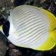 picture of Chaetodon adiergastos