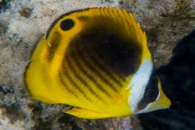 poisson-papillon diagonal Chaetodontidae