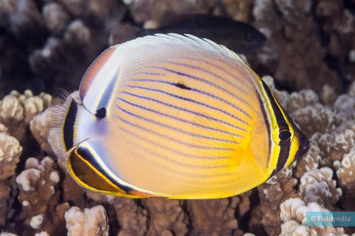 Chaetodon lunulatus
