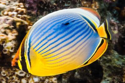 Chaetodon trifasciatus Chaetodontidae