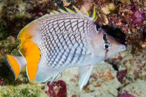 poisson-papillon à filet perlé