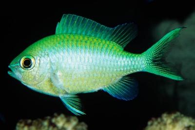 demoiselle bleue Pomacentridae