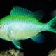 picture of Chromis viridis