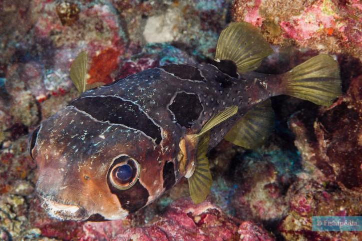 Diodon liturosus - porc-épic à taches noires