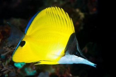 poisson-papillon à long nez Chaetodontidae