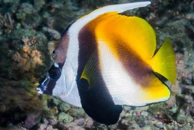 poisson cocher masqué Chaetodontidae