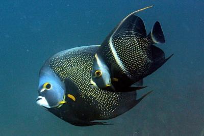 poisson-ange français