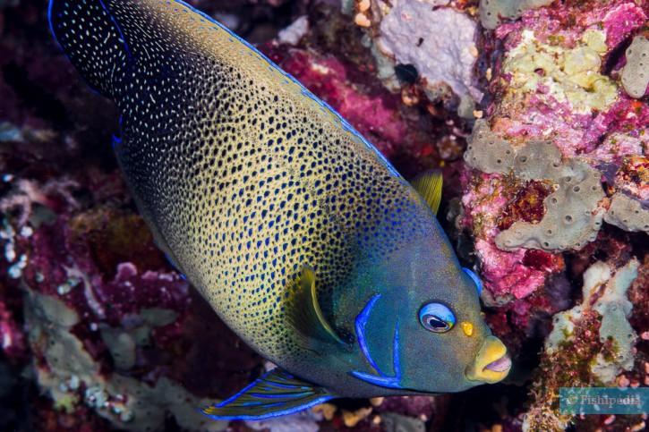 Pomacanthus semicirculatus - poisson ange à demi cercle