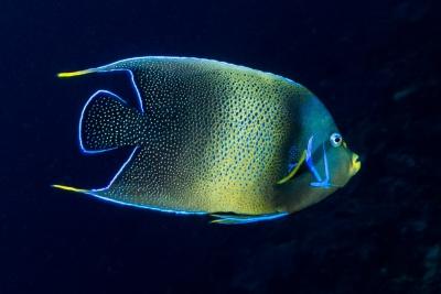 poisson ange à demi cercle Pomacanthidae