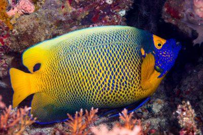 poisson-ange à front jaune Pomacanthidae