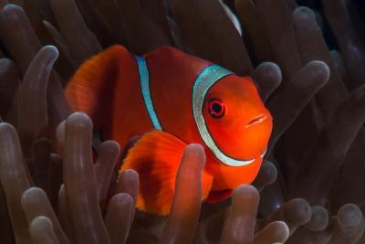 poisson-clown à joues épineuses Pomacentridae