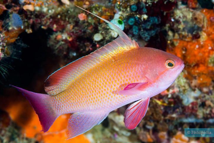 Pseudanthias squamipinnis - barbier rouge