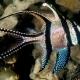 picture of Pterapogon kauderni