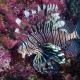 picture of Pterois miles