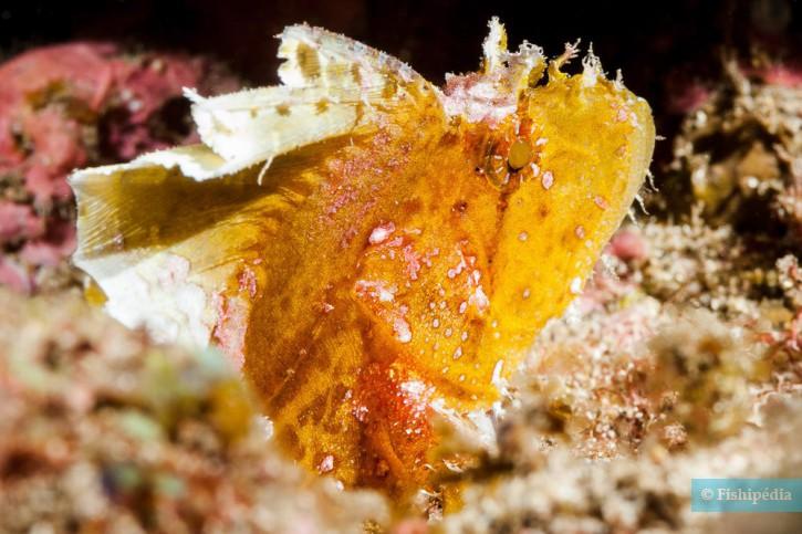 Taenianotus triacanthus - poisson-scorpion