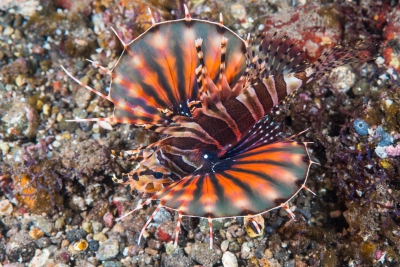 ptérois-zèbre Scorpaenidae