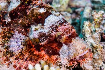 poisson-scorpion à houppe Scorpaenidae