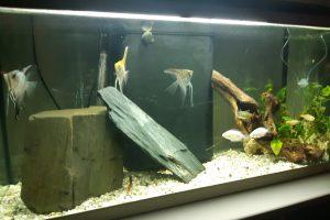 aquarium scalaires