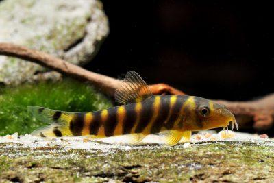 loche du Bengale Cobitidae