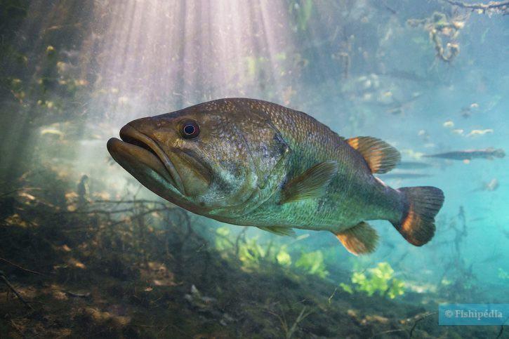 Micropterus salmoides - Black-bass