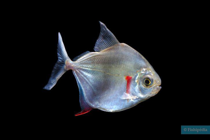 poisson pour vous datant Islam datant