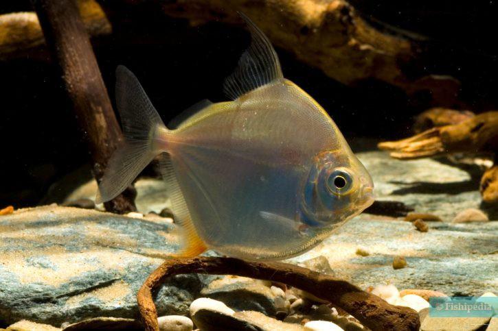 un autre poisson datant vues orthodoxes coptes sur la datation