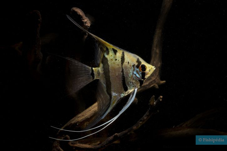 Scalaire forme sauvage - Pterophyllum scalare