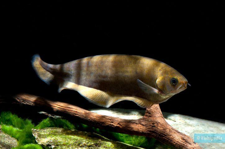 Xenomystus nigri