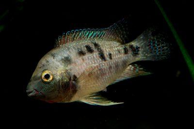 Neetroplus panamensis Cichlidae