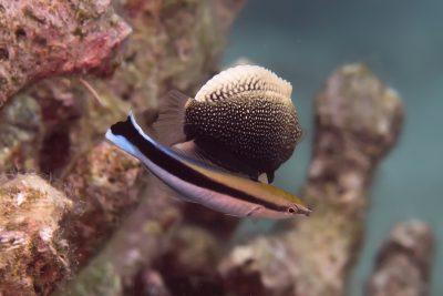 labre nettoyeur commun Labridae