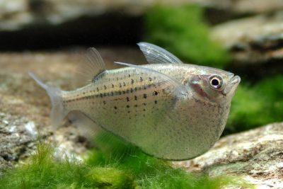 Exemple de poisson avec la bouche orientée vers le haut